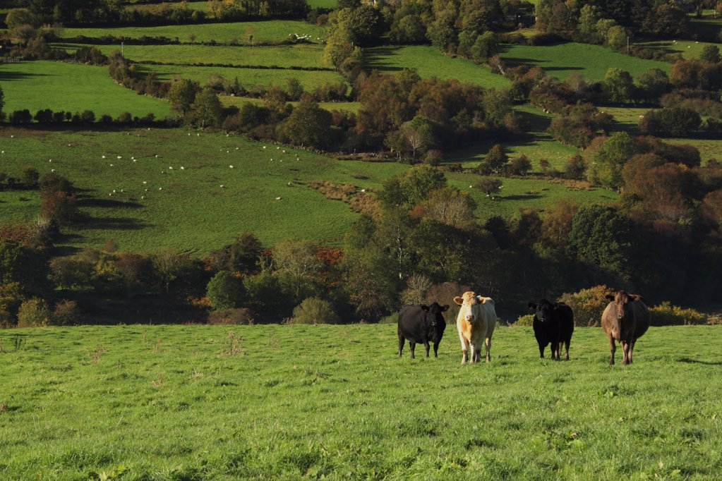 Stock Photo: 1812-18909 Cows In A Field In The Nire Valley In Munster Region; County Tipperary, Ireland