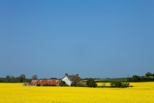 Old Farm Surrounded By Oilseed Rape (Canola); County Carlow Ireland : Stock Photo