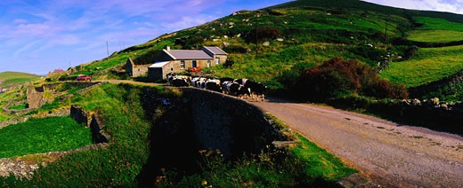 Stock Photo: 1812-3012 Traditional Farm, Fresian Cattle on Road, Slea Head, Dingle Peninsula, Co Kerry, Ireland