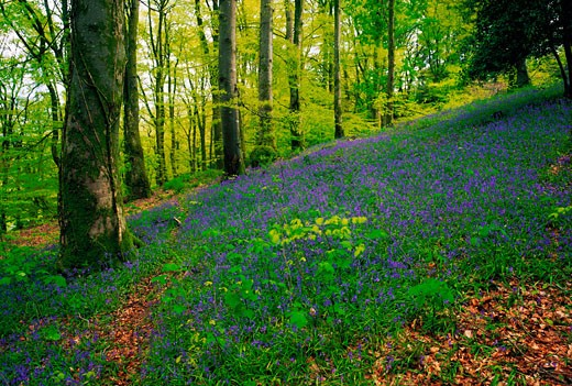 Stock Photo: 1812-3172 Woods, In Spring, Clara Vale Co Wicklow
