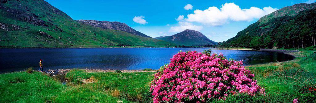 Ballynahinch Lake, Connemara, County Galway, Ireland, Lake scenic with flowering shrub : Stock Photo