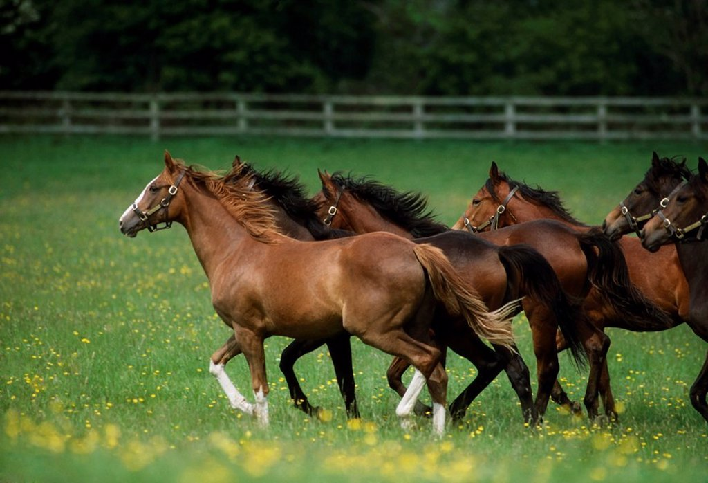 Stock Photo: 1812-6789 Thoroughbred Horses, Ireland
