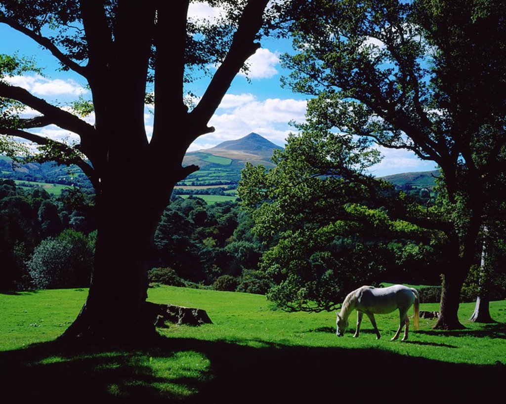 Stock Photo: 1812-7812 Powerscourt Estate, County Wicklow, Ireland, White horse grazing in park