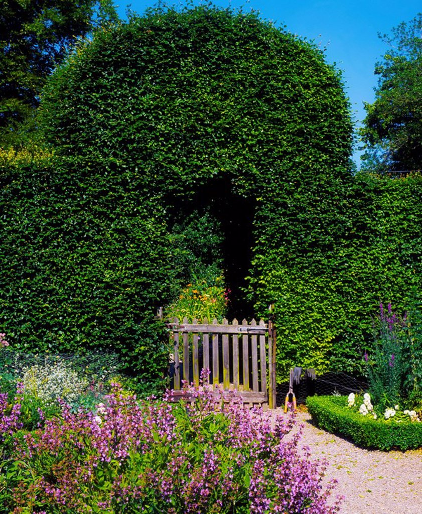 Kinoith House Gardens, Co Cork, Ireland, Beech arch with Lavender growing in the foreground : Stock Photo