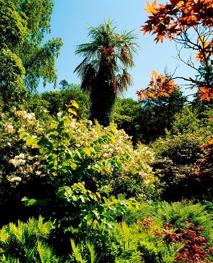 Stock Photo: 1812-9180 Mount Usher Gardens, Co Wicklow, Ireland, Rhododendron, Beech and Ferns