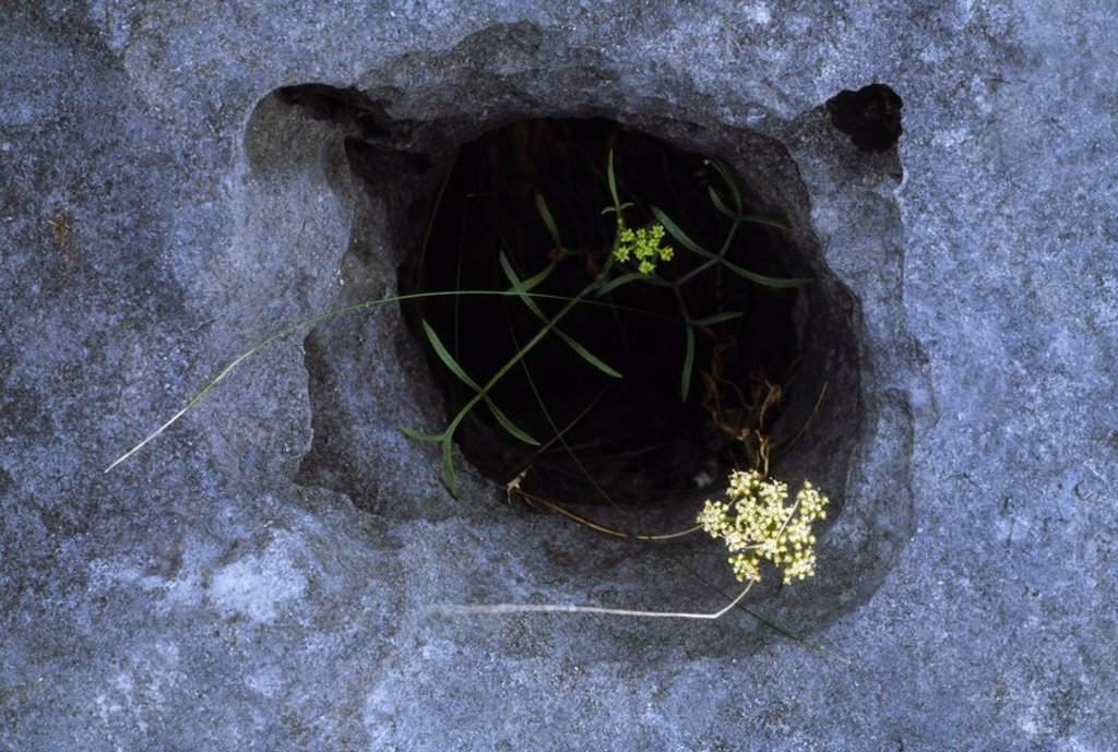Stock Photo: 1812R-13423 Co Clare, The Burren, Wildflowers, Ireland
