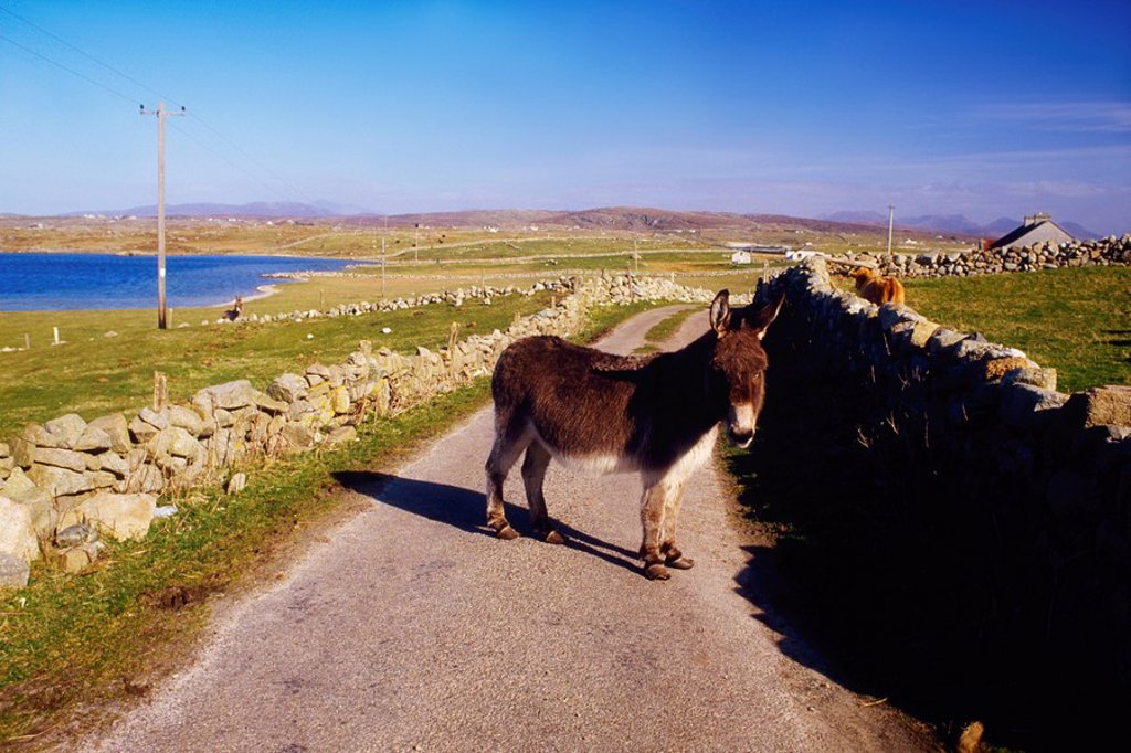 Stock Photo: 1812R-13776 Donkey near Clifden, Co Galway, Ireland