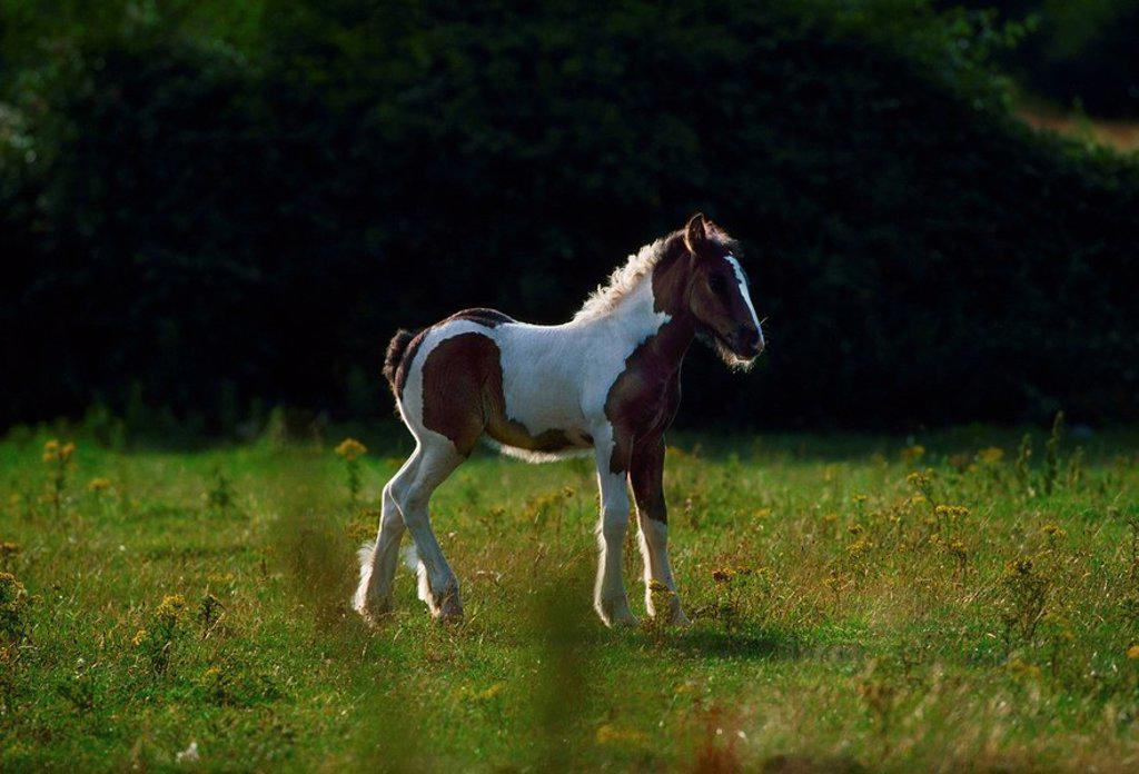Feral pony, Co Dublin, Ireland : Stock Photo