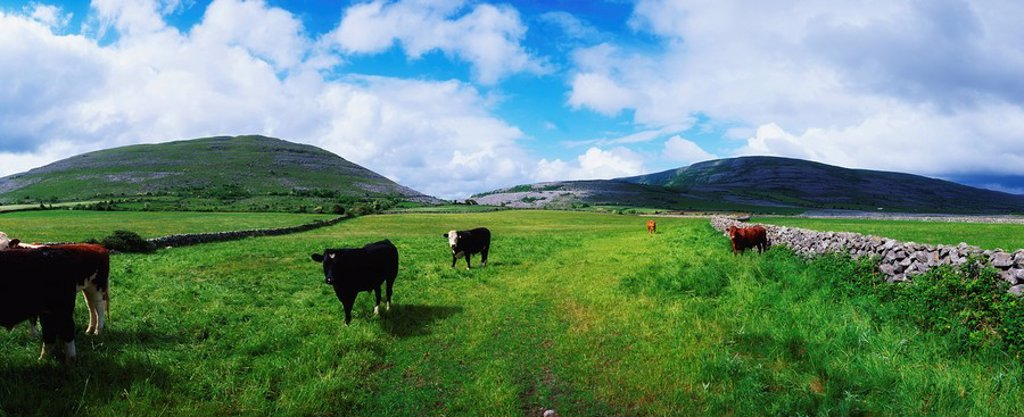 Stock Photo: 1812R-13931 Cattle, The Burren, Co Clare, Ireland