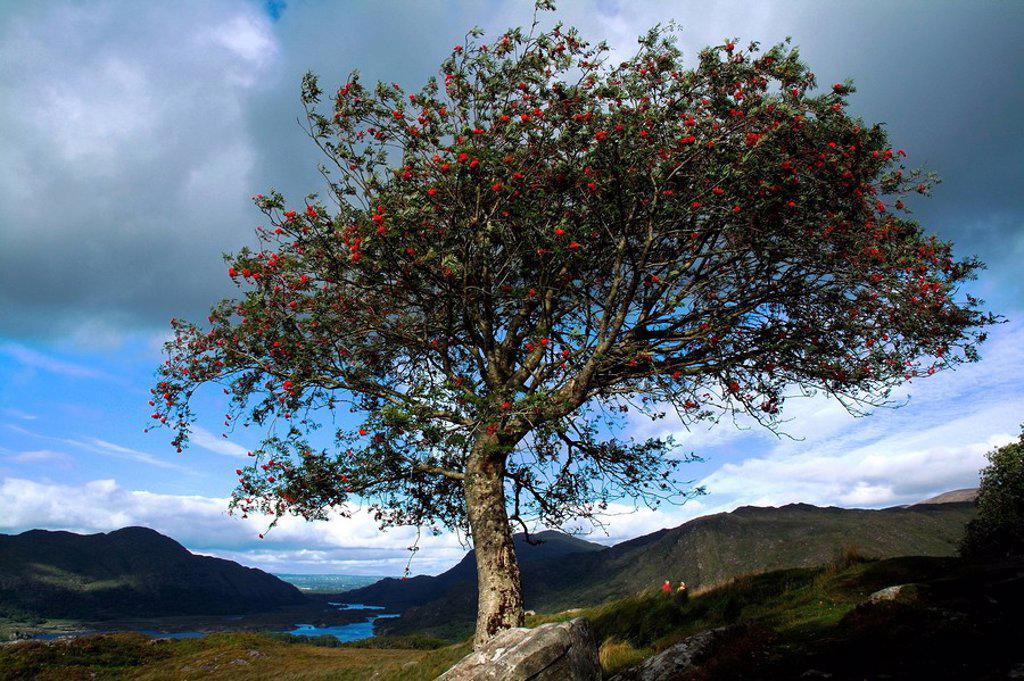 Stock Photo: 1812R-14586 Blossoming tree in Killarney, Co Kerry, Ireland