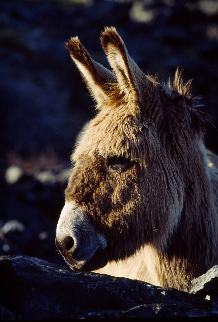 Stock Photo: 1812R-15144 Donkey On Inishmaan, The Aran Islands, County Galway, Ireland
