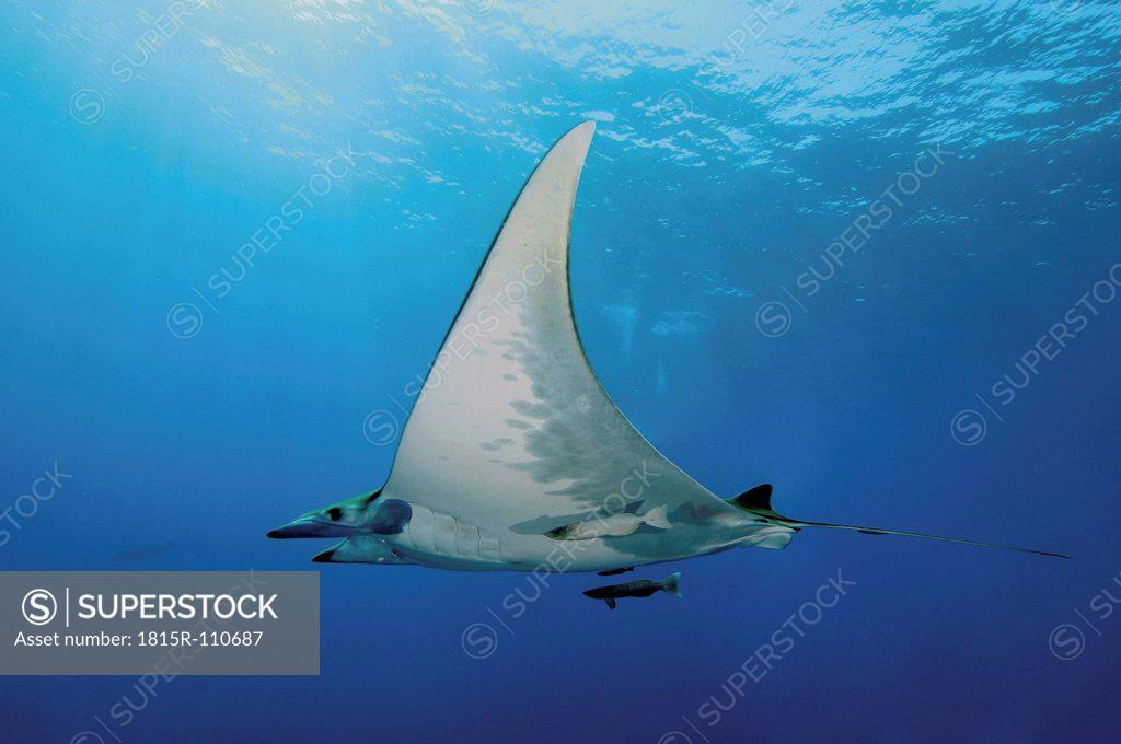 Stock Photo: 1815R-110687 Portugal, Devil Ray fish in Azores