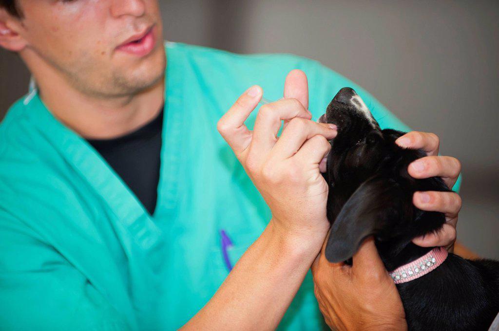 Stock Photo: 1815-109963 USA, Texas, Leakey, Veterinarian examining dog