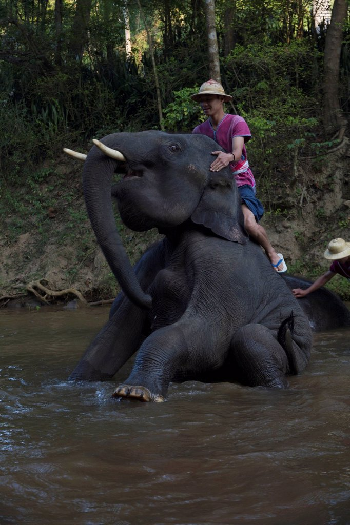 Stock Photo: 1815-126479 Thailand, Chiang Mai, Mahout washing his elephant in river