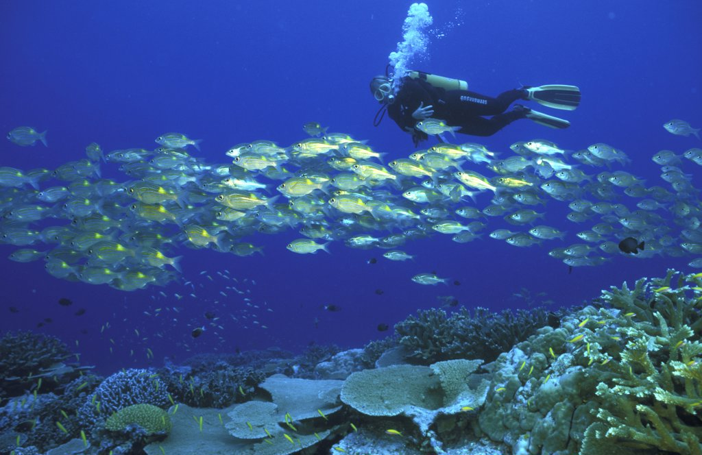Stock Photo: 1815-39291 snapper and coralreef, Australia