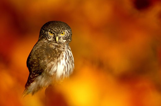 Sperlingskauz, Eurasian Pygmy-Owl, Glaucidium passerinum : Stock Photo