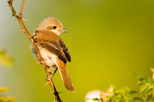 Stock Photo: 1815-40978 Female red-backed shrike, Lanius collurio, sitting on branch
