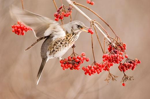 Fieldfare, Turdus pilaris, eating rowan berries : Stock Photo