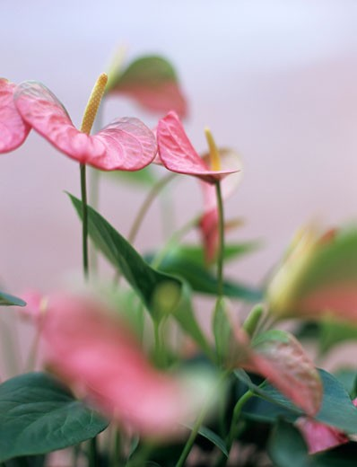 Anthuriums, close-up : Stock Photo