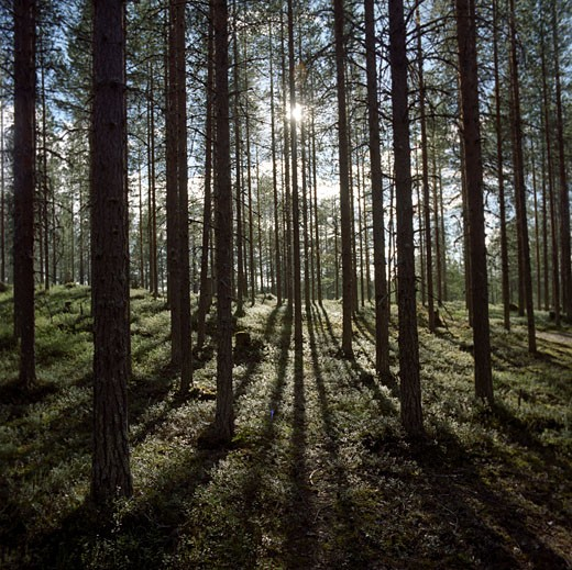 Stock Photo: 1815-43585 Finland, Hossa National Park, sunrays in forest