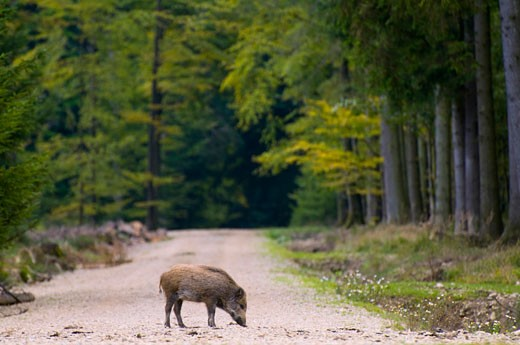 Stock Photo: 1815-48212 Wild hog on track in forest