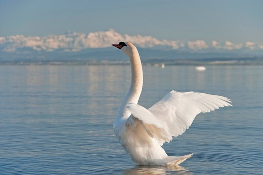 Germany, Hagnau, Lake Constance, Alps, Swan in lake : Stock Photo
