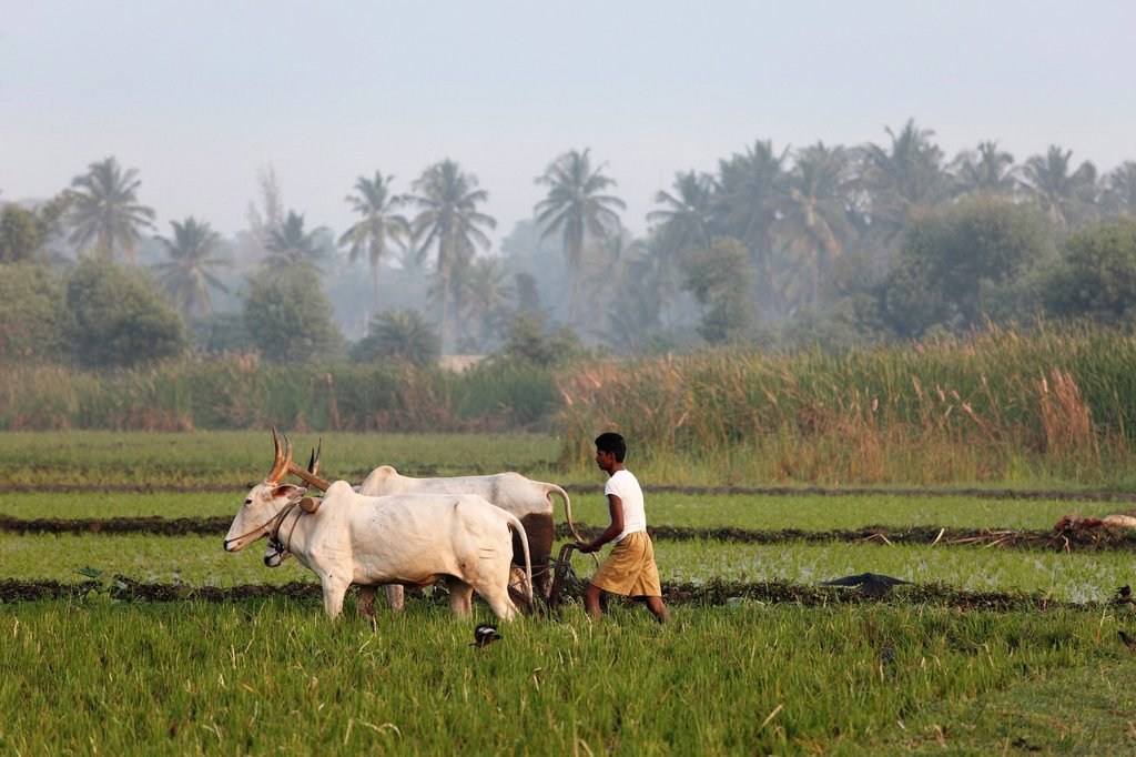 Stock Photo: 1815-89118 India, South India, Karnataka, Pandavapura, Farmer ploughing in rice field