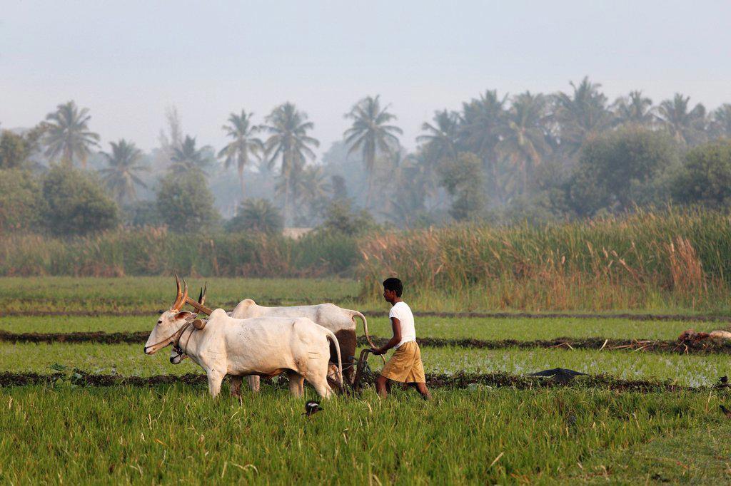 India, South India, Karnataka, Pandavapura, Farmer ploughing in rice field : Stock Photo