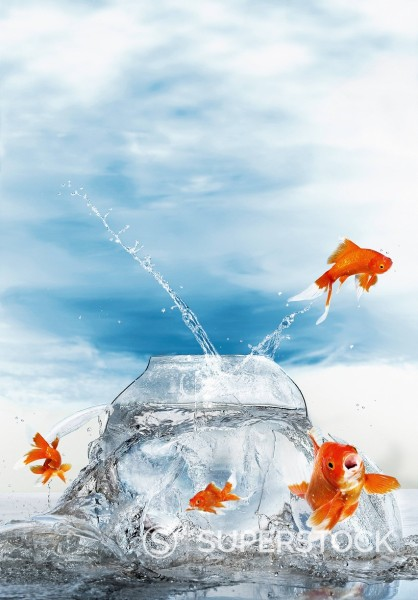 Gold fish jumping out of fish bowl, close up : Stock Photo