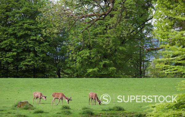 Austria, Fallow buck grazing grass : Stock Photo