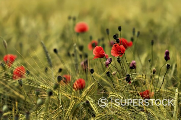 Stock Photo: 1815R-102994 Germany, Bavaria, Poppy flowers in wheat field