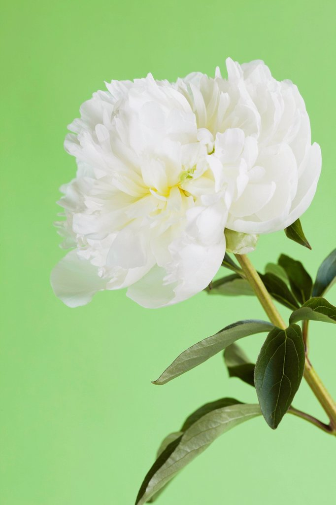 Stock Photo: 1815R-106834 Peony against green background