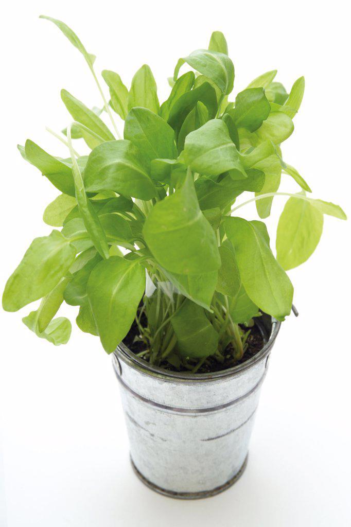 Garden sorrel in a pot : Stock Photo