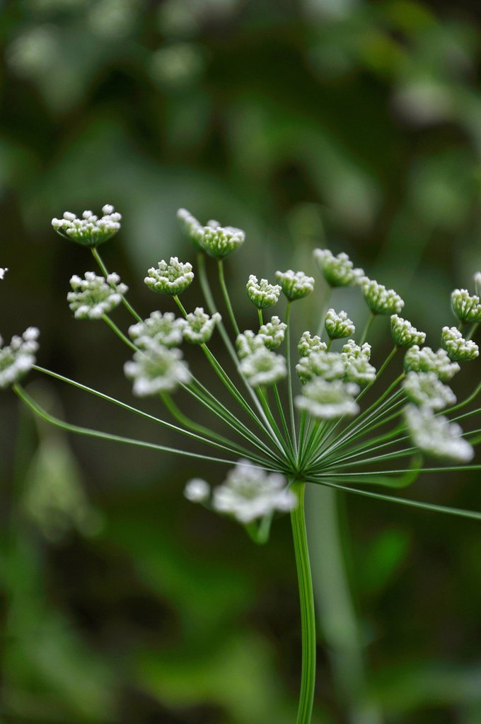 Stock Photo: 1815R-108673 Germany, Bavaria, View of wild carrot blossom