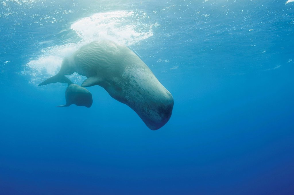Portugal, Sperm whale mother diving with her calf : Stock Photo