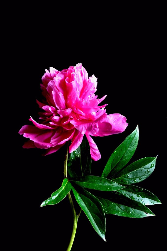 Stock Photo: 1815R-111230 Close up of peony with dewdrops against black background