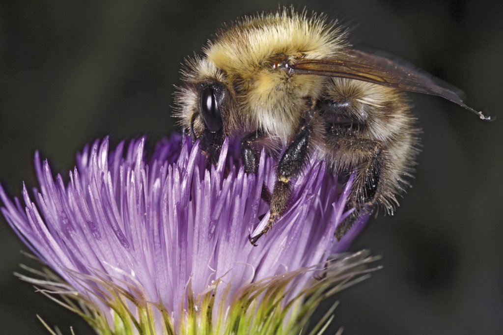 Bumble bee on thistle, close-up : Stock Photo