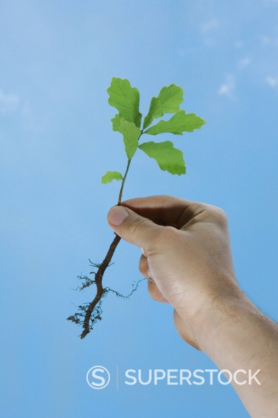 Stock Photo: 1815R-113777 Germany, Bavaria, Oak seedling in human hand