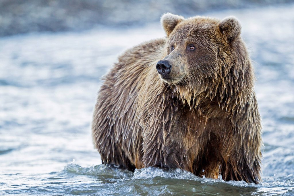 Stock Photo: 1815R-114663 USA, Alaska, Brown bear in Silver salmon creek at Lake Clark National Park and Preserve