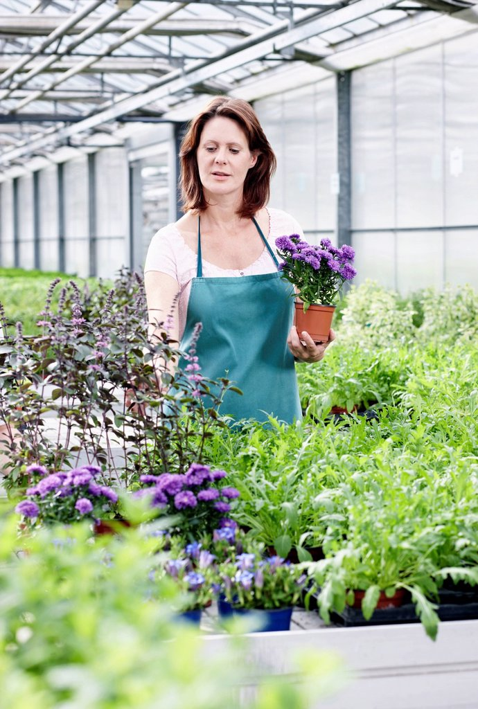 Stock Photo: 1815R-114765 Germany, Bavaria, Munich, Mature woman in greenhouse with aster plants