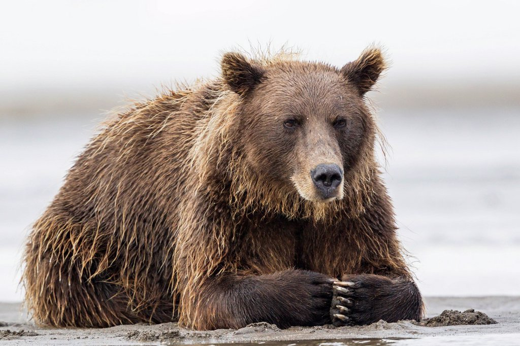 Stock Photo: 1815R-114878 USA, Alaska, Brown bear in Silver salmon creek at Lake Clark National Park and Preserve