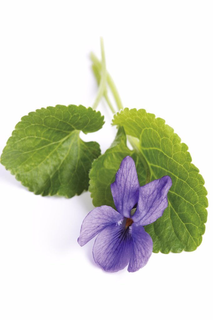 Stock Photo: 1815R-11499 Viola odorata, close up