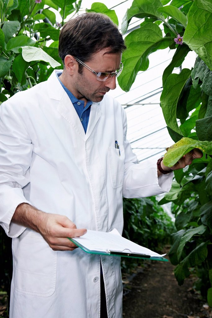 Germany, Bavaria, Munich, Scientist in greenhouse examining aubergine plants : Stock Photo