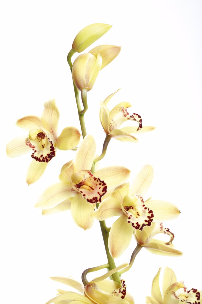 Stock Photo: 1815R-11570 Yellow orchid against white background, close-up