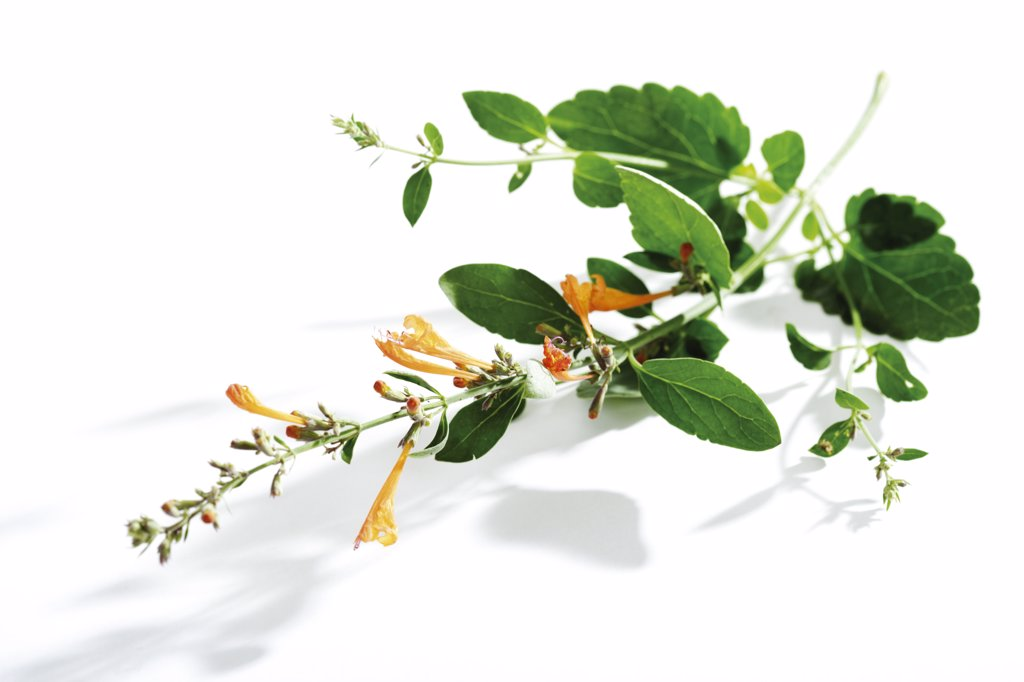 Lemonysop,Mexican hyssop, Agastache mexicana : Stock Photo
