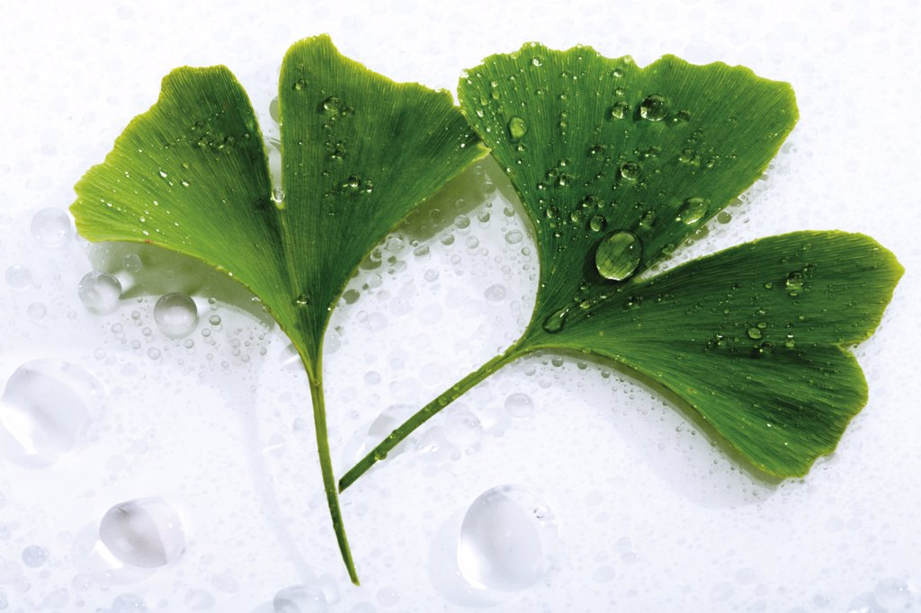 Stock Photo: 1815R-12450 Ginko leaves with water drops