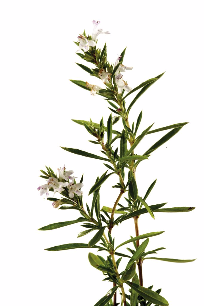 Stock Photo: 1815R-12533 Flowering summer savory, close-up