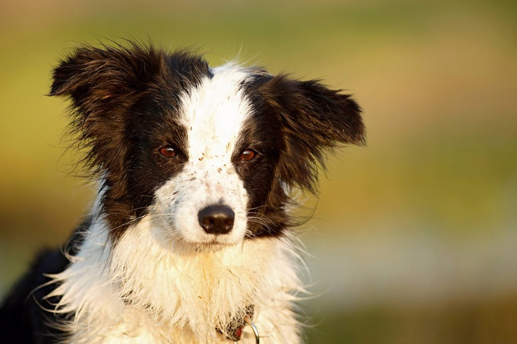 Stock Photo: 1815R-130504 Germany, Baden Wuerttemberg, Border Collie dog looking away