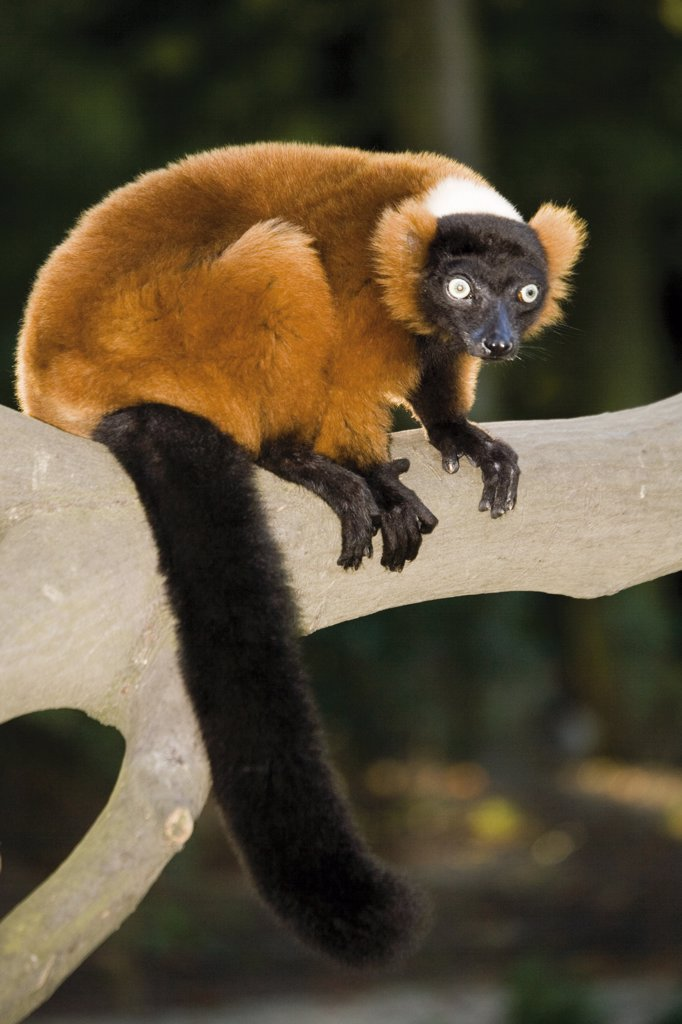 Stock Photo: 1815R-13150 Germany, Gelsenkirchen, Zoom Erlebniswelt, Red ruffed lemur
