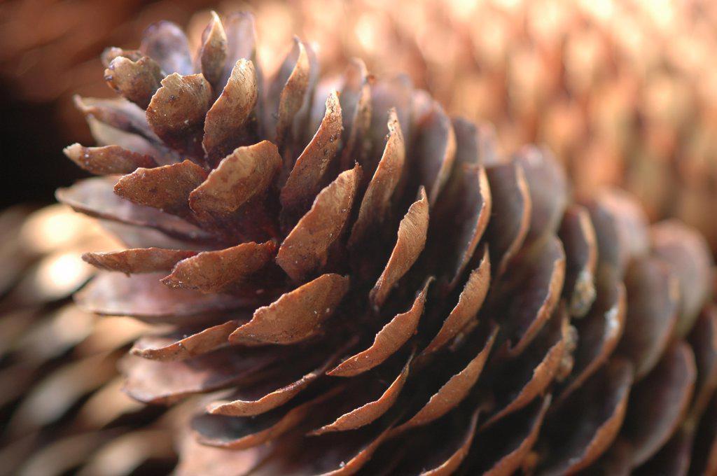 Stock Photo: 1815R-1412 Fir cone, close-up